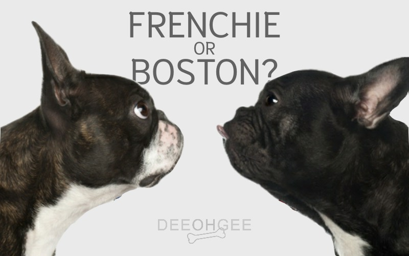 DeeOhGee Frenchie or Boston Blog Post